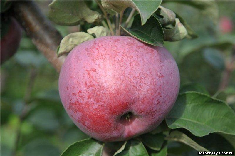 Яблоня подарок учителю